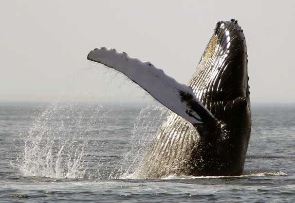 Baleen whales may be changing their travels because of warming climate