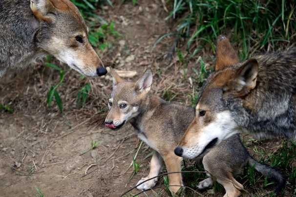 Red Wolves name for Washington could help save the species, scientist says