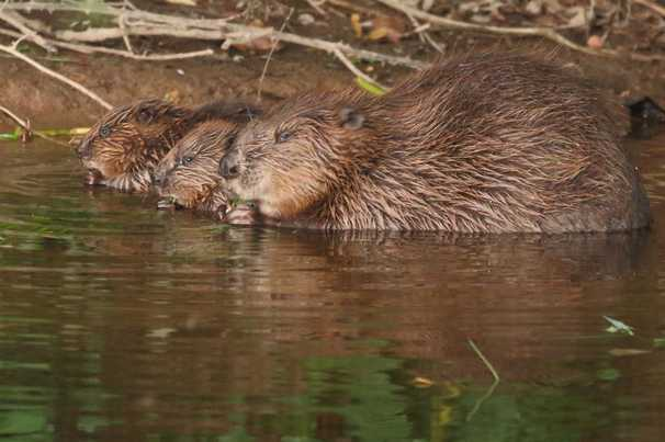 After an absence of 400 years, beavers can return to the wild in England