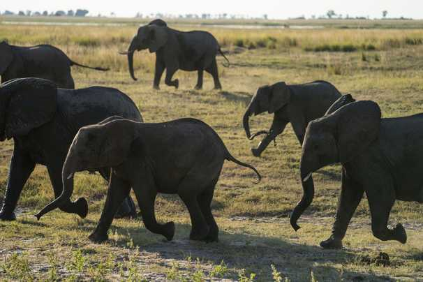 Botswana reveals the cause of a mass elephant die-off after months-long wait