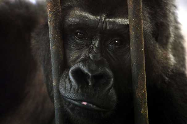 Cher saved the world's loneliest elephant. Can she free Thailand's last gorilla?
