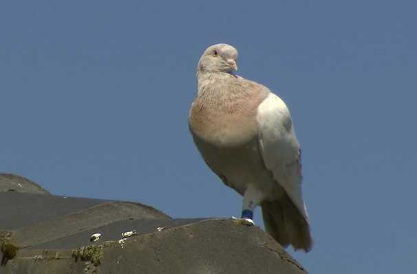 Joe the pigeon made it across the Pacific to Australia. Now he's on death row.