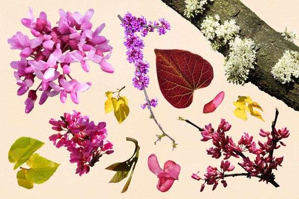The gardener's guide to redbuds