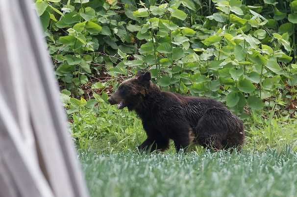 Bear goes on rampage in Japan, storms military base, airport
