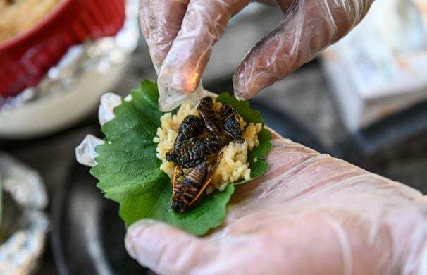 Don't eat cicadas if you're allergic to seafood, the FDA warns