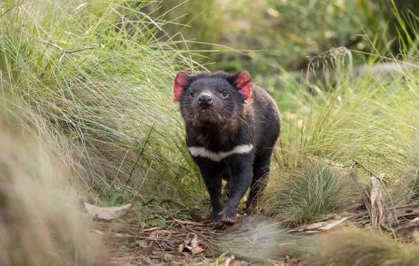 Scientists moved Tasmanian devils to protect them. Now the predators are imperiling penguins.