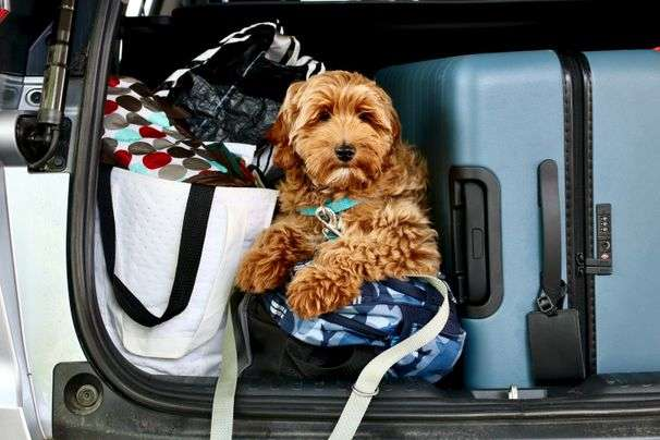 You got a pandemic pup. Here's how to take it on its first road trip.