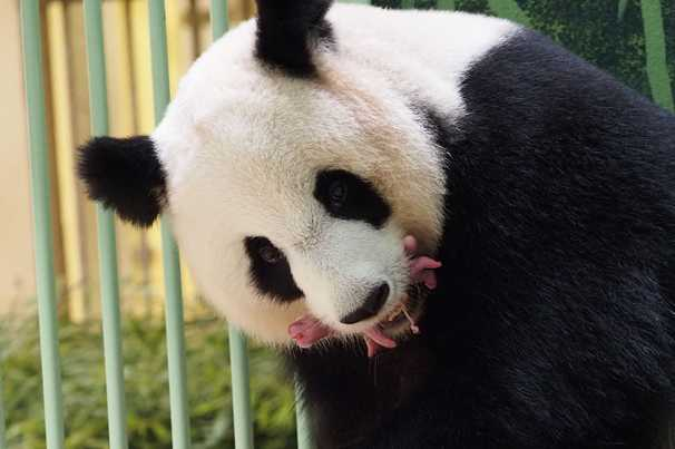 Giant panda on loan to France gives birth as world cheers reproduction effort