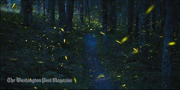 In the Great Smoky Mountains, fireflies have become a source of tourism —and solace
