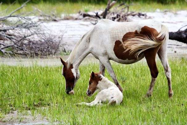 On Virginia's Chincoteague Island — all this and ponies, too