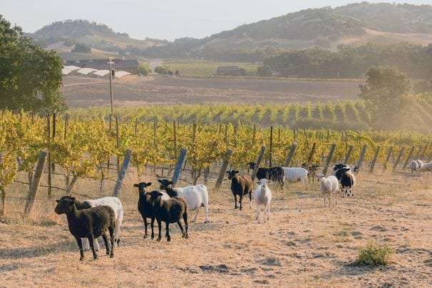 Carbon farming, one of the oldest agricultural practices, is growing on winemakers