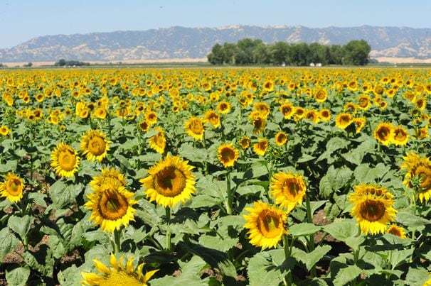 Why do sunflowers turn to face the morning sun?